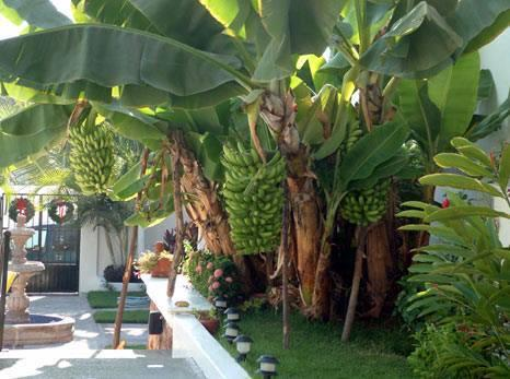 Vivero la morena c a plantas ornamentales y frutales en for Viveros frutales